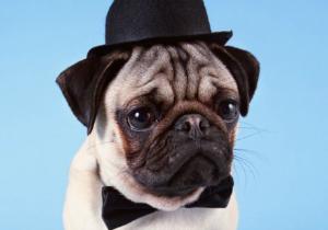 pug fashion